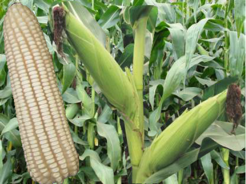 KH500-43A maize seeds (1Kg)