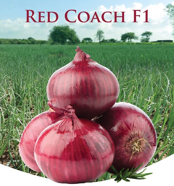 Red Coach F1 onion seeds (100 grams)