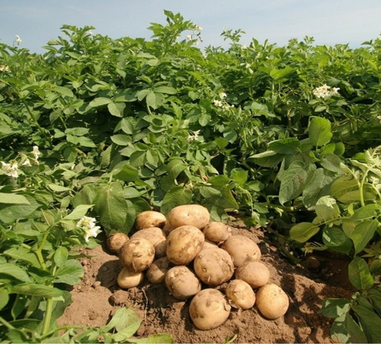 Irish potato farming training (per hour)