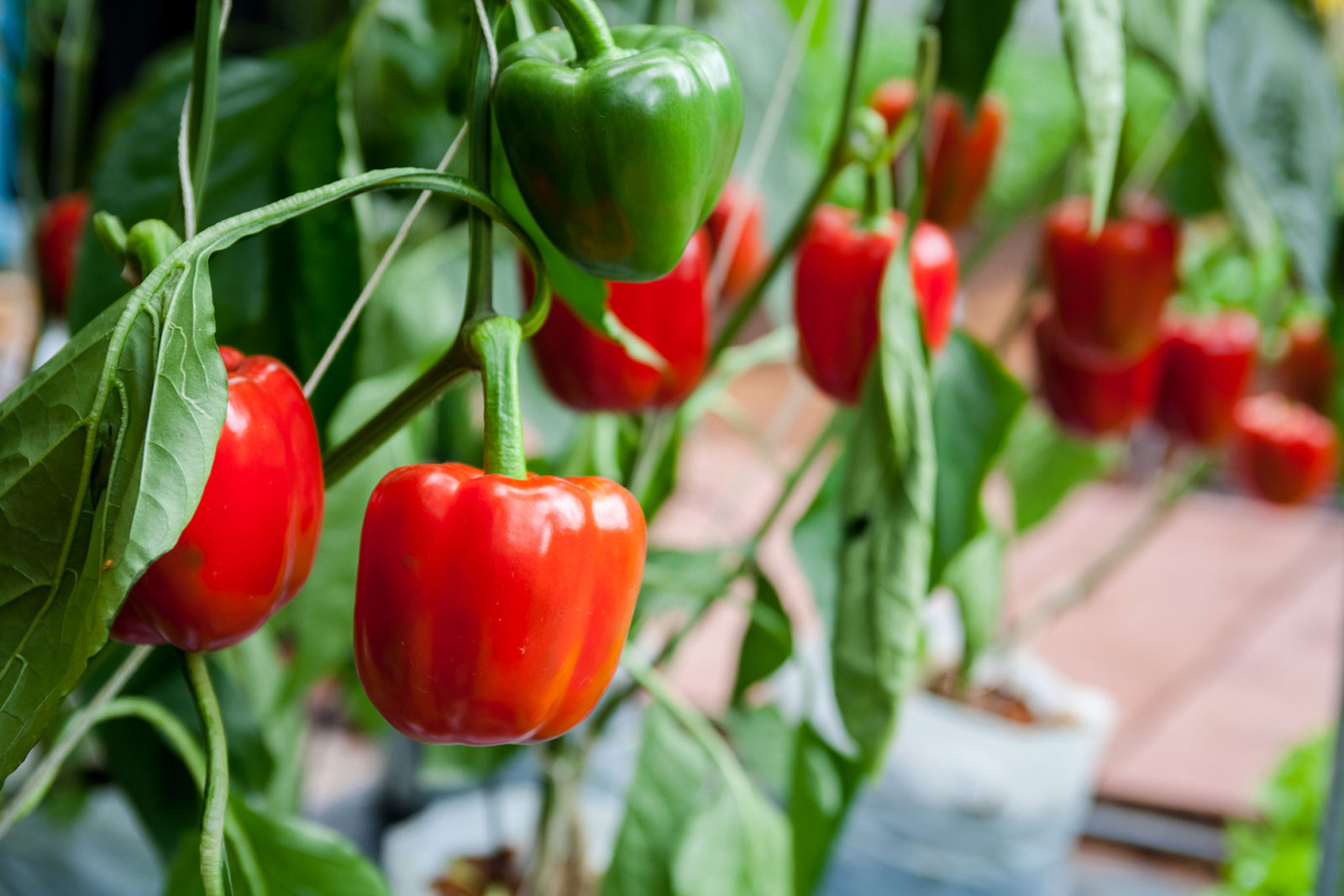 Clair F1 Green/Red sweet pepper seeds  (500 seeds)
