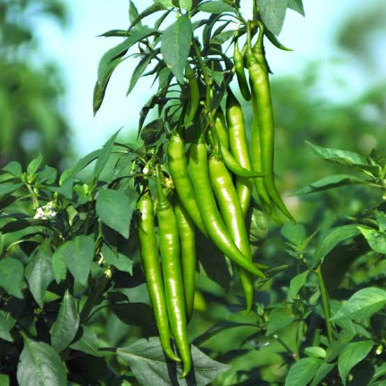 Fresh green chili produce (100Kg)