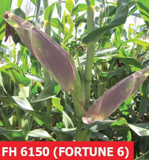 Fortune 6 FH 6150 maize seeds (1 Kg)